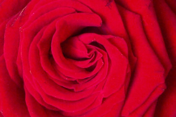 Badeblüten - Serie Parican Rosenblüten,rot, ganz 500g