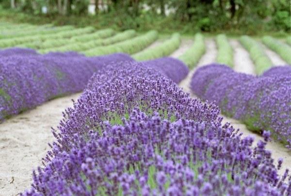 Badeblüten - Serie Parican Lavendelblüten, ganz 500g