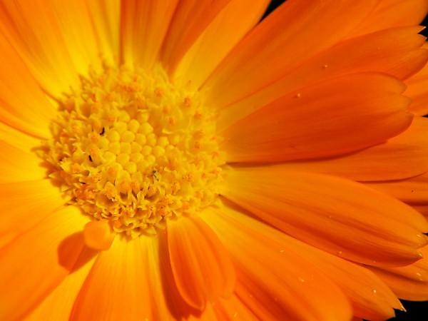 Badeblüten - Serie Parican Ringelblumenblüten, ganz 500g